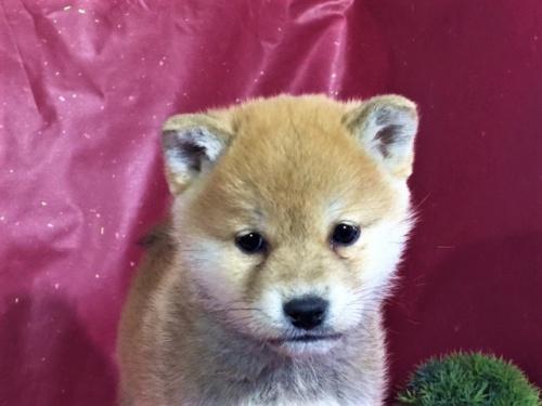 柴犬の子犬(ID:1262511270)の1枚目の写真/更新日:2017-03-10