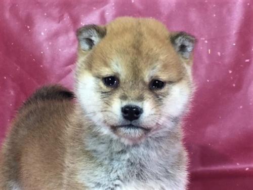 柴犬の子犬(ID:1262511271)の1枚目の写真/更新日:2017-02-24