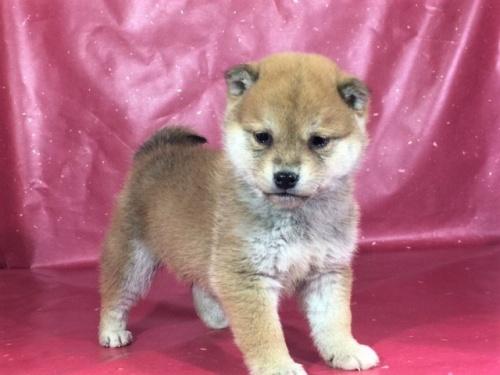 柴犬の子犬(ID:1262511271)の2枚目の写真/更新日:2017-02-24