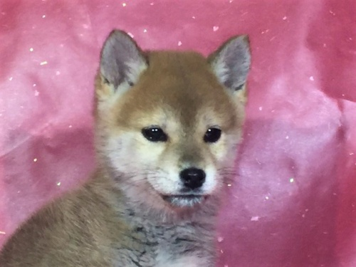 柴犬の子犬(ID:1262511272)の1枚目の写真/更新日:2017-03-29