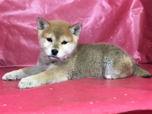 柴犬の子犬(ID:1262511272)の3枚目の写真/更新日:2017-03-29