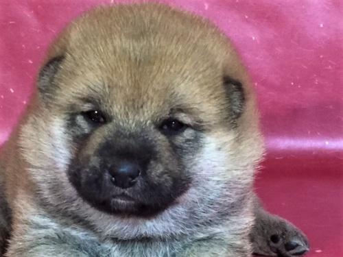 柴犬の子犬(ID:1262511273)の1枚目の写真/更新日:2017-02-18