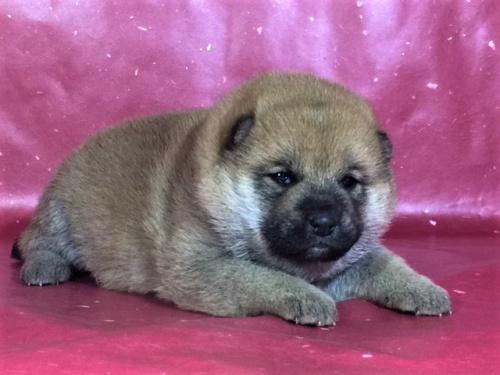 柴犬の子犬(ID:1262511273)の2枚目の写真/更新日:2017-02-18