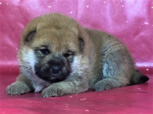 柴犬の子犬(ID:1262511273)の3枚目の写真/更新日:2017-02-18