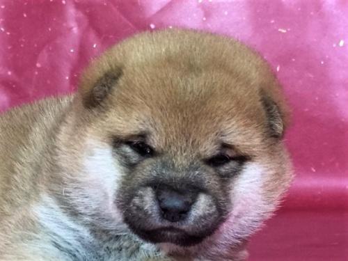 柴犬の子犬(ID:1262511274)の1枚目の写真/更新日:2017-02-18