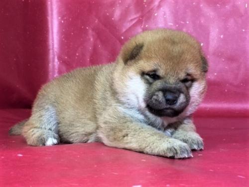 柴犬の子犬(ID:1262511274)の2枚目の写真/更新日:2017-02-18