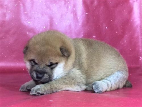 柴犬の子犬(ID:1262511274)の3枚目の写真/更新日:2017-02-18