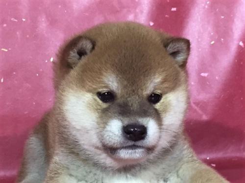 柴犬の子犬(ID:1262511276)の1枚目の写真/更新日:2017-02-20