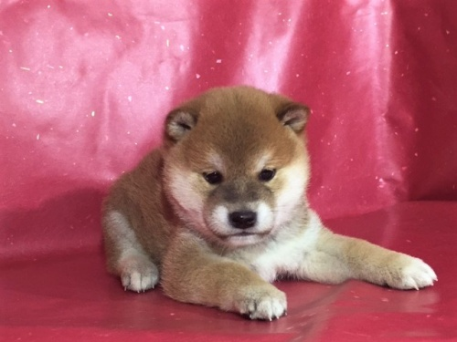 柴犬の子犬(ID:1262511276)の2枚目の写真/更新日:2017-02-20