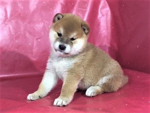 柴犬の子犬(ID:1262511276)の3枚目の写真/更新日:2017-02-20