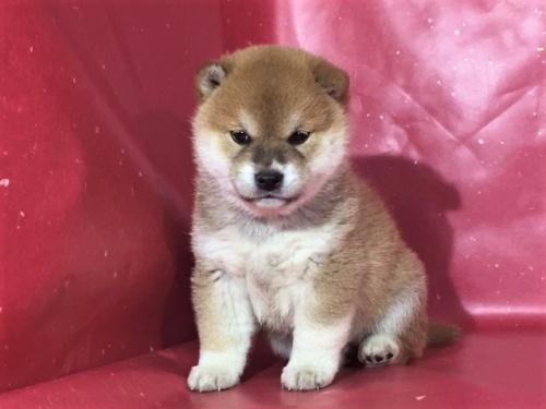 柴犬の子犬(ID:1262511277)の3枚目の写真/更新日:2017-02-20