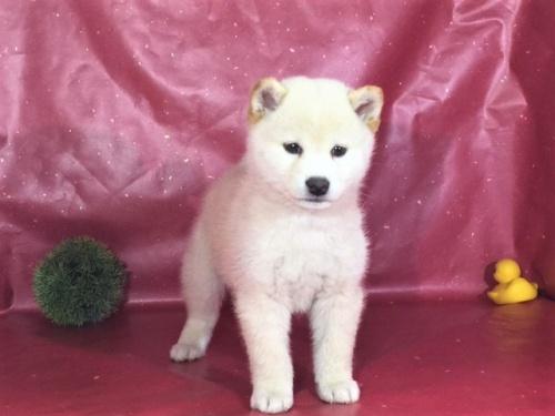 柴犬の子犬(ID:1262511278)の2枚目の写真/更新日:2017-03-26