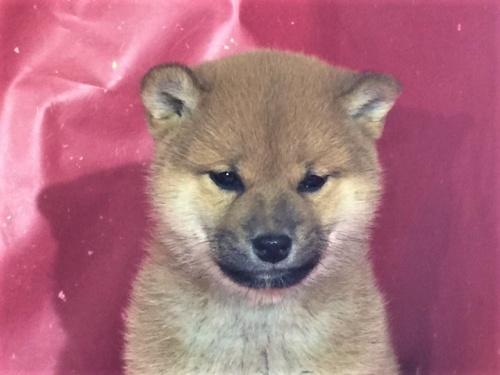 柴犬の子犬(ID:1262511279)の1枚目の写真/更新日:2017-03-16