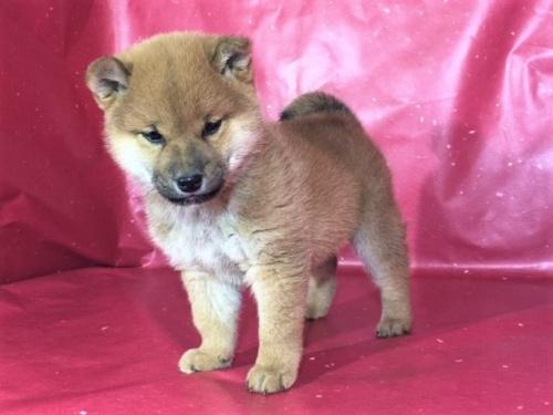 柴犬の子犬(ID:1262511279)の2枚目の写真/更新日:2017-03-16