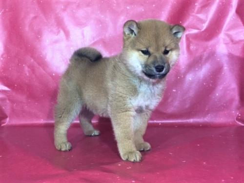 柴犬の子犬(ID:1262511279)の3枚目の写真/更新日:2017-03-16