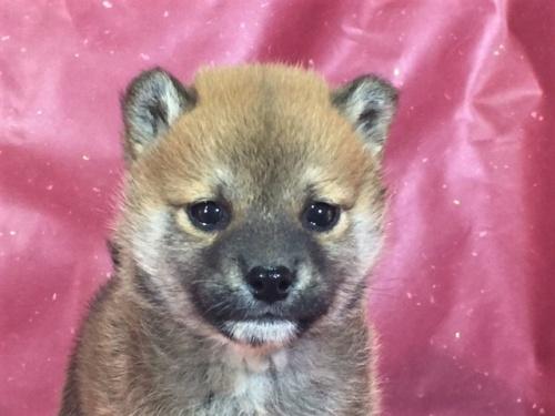 柴犬の子犬(ID:1262511281)の1枚目の写真/更新日:2017-03-24