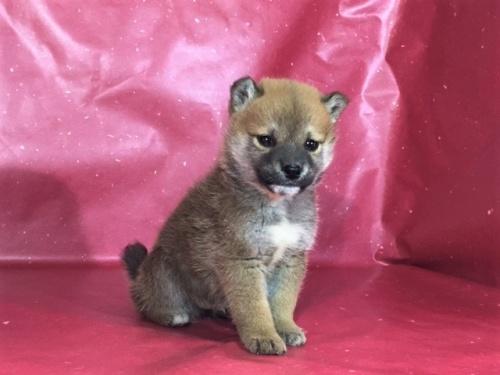 柴犬の子犬(ID:1262511281)の2枚目の写真/更新日:2017-03-24