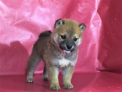 柴犬の子犬(ID:1262511281)の3枚目の写真/更新日:2017-03-24