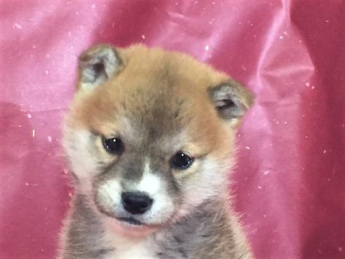 柴犬の子犬(ID:1262511282)の1枚目の写真/更新日:2017-03-24