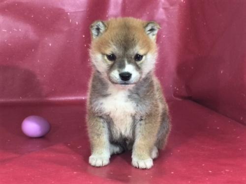柴犬の子犬(ID:1262511282)の2枚目の写真/更新日:2017-03-24