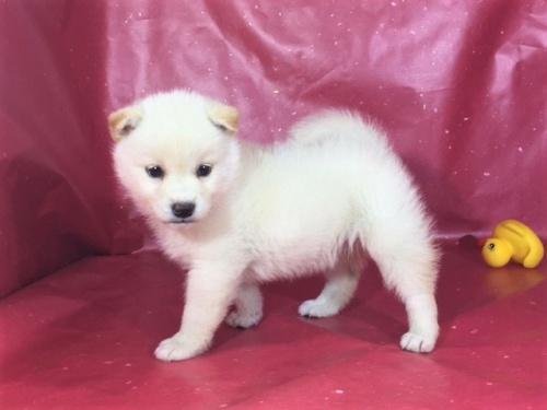 柴犬の子犬(ID:1262511283)の2枚目の写真/更新日:2017-03-24