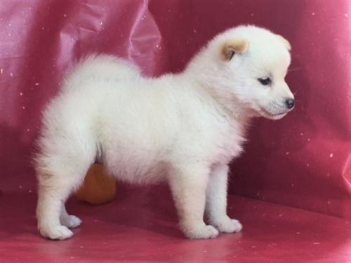 柴犬の子犬(ID:1262511283)の3枚目の写真/更新日:2017-03-24