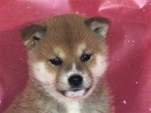 柴犬の子犬(ID:1262511284)の1枚目の写真/更新日:2017-03-24