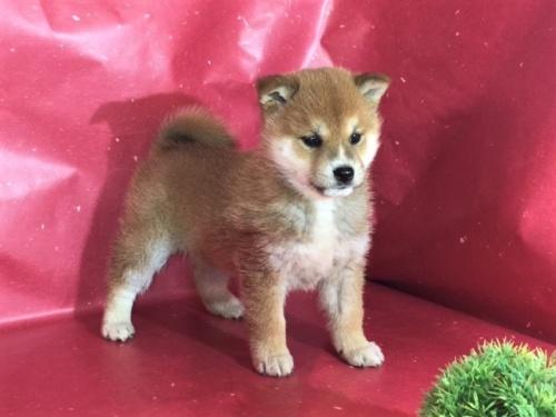 柴犬の子犬(ID:1262511284)の3枚目の写真/更新日:2017-03-24