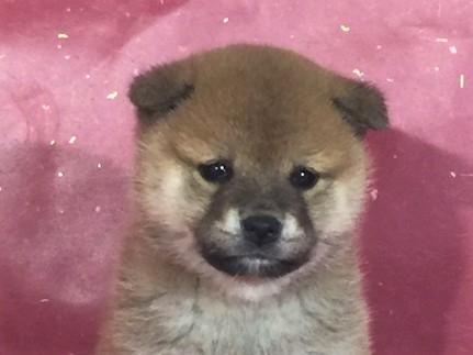 柴犬の子犬(ID:1262511285)の1枚目の写真/更新日:2017-03-28