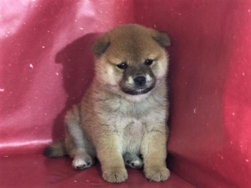 柴犬の子犬(ID:1262511285)の3枚目の写真/更新日:2017-03-28
