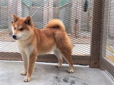 柴犬の子犬(ID:1262511286)の2枚目の写真/更新日:2017-03-28