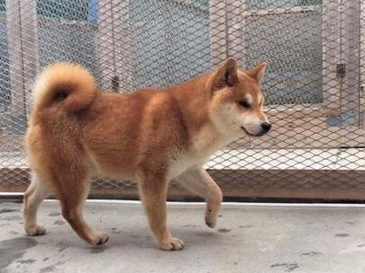 柴犬の子犬(ID:1262511286)の3枚目の写真/更新日:2017-03-28