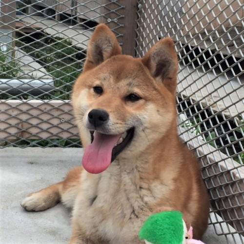 柴犬の子犬(ID:1262511287)の1枚目の写真/更新日:2017-04-13