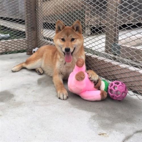 柴犬の子犬(ID:1262511287)の2枚目の写真/更新日:2017-03-28