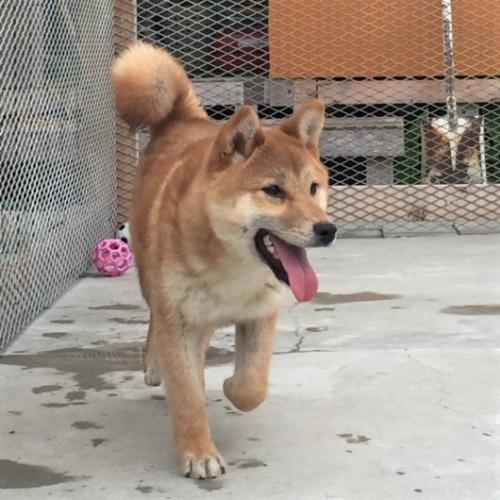 柴犬の子犬(ID:1262511287)の3枚目の写真/更新日:2017-03-28