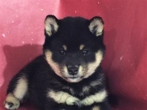 柴犬の子犬(ID:1262511288)の1枚目の写真/更新日:2017-04-15