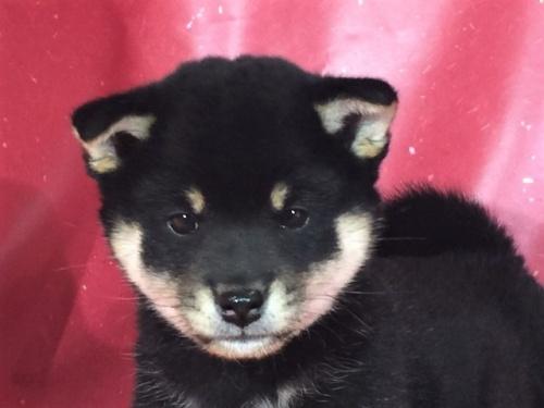 柴犬の子犬(ID:1262511289)の1枚目の写真/更新日:2017-04-15