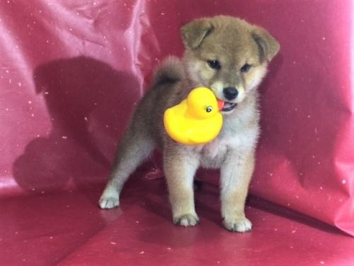 柴犬の子犬(ID:1262511290)の2枚目の写真/更新日:2017-04-27