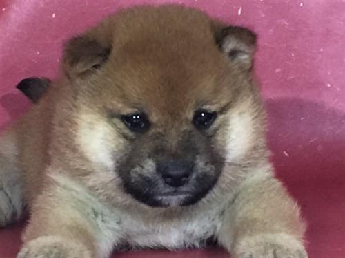 柴犬の子犬(ID:1262511291)の1枚目の写真/更新日:2017-04-15