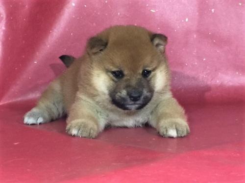 柴犬の子犬(ID:1262511291)の2枚目の写真/更新日:2017-04-15