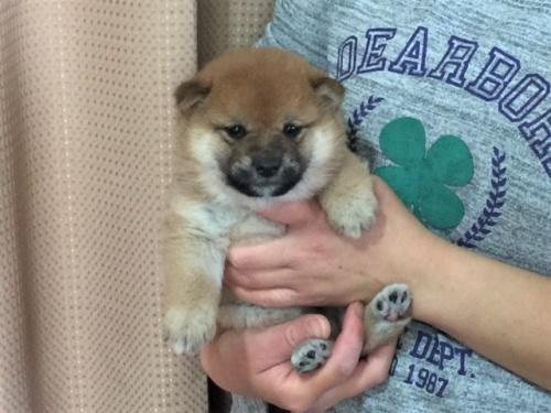 柴犬の子犬(ID:1262511291)の3枚目の写真/更新日:2017-04-15