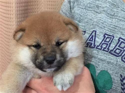 柴犬の子犬(ID:1262511292)の1枚目の写真/更新日:2017-04-15