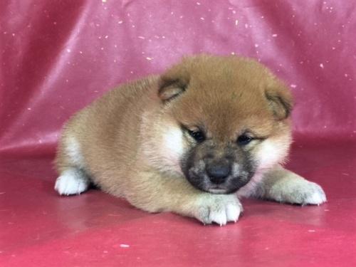 柴犬の子犬(ID:1262511292)の2枚目の写真/更新日:2017-04-15