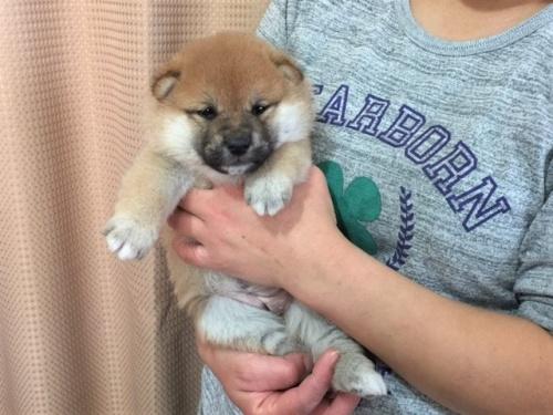 柴犬の子犬(ID:1262511292)の3枚目の写真/更新日:2017-04-15