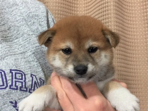 柴犬の子犬(ID:1262511294)の1枚目の写真/更新日:2017-04-17