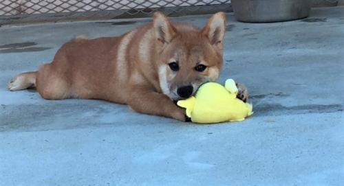 柴犬の子犬(ID:1262511295)の2枚目の写真/更新日:2017-06-20