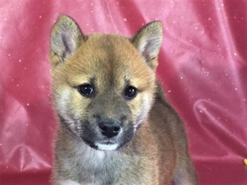 柴犬の子犬(ID:1262511296)の1枚目の写真/更新日:2017-05-03