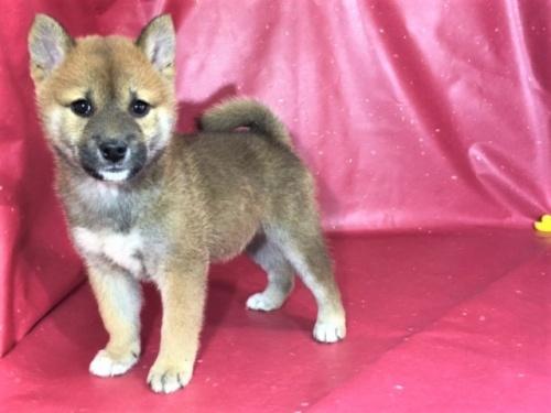 柴犬の子犬(ID:1262511296)の2枚目の写真/更新日:2017-05-03