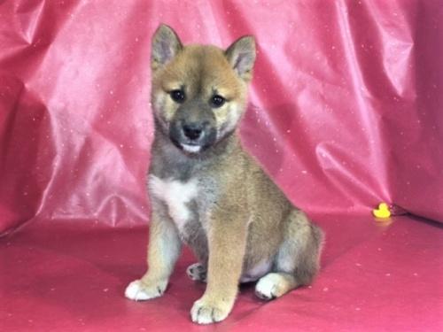 柴犬の子犬(ID:1262511296)の3枚目の写真/更新日:2017-05-03