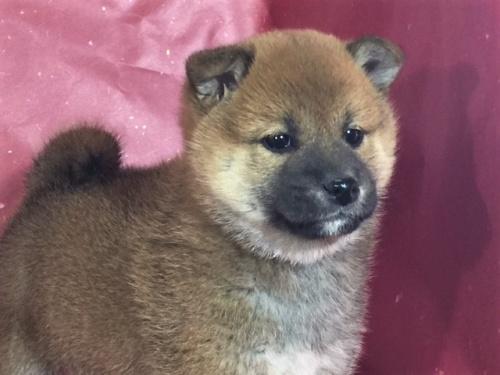 柴犬の子犬(ID:1262511297)の1枚目の写真/更新日:2017-04-23
